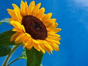 sunflower_shutterstock_300